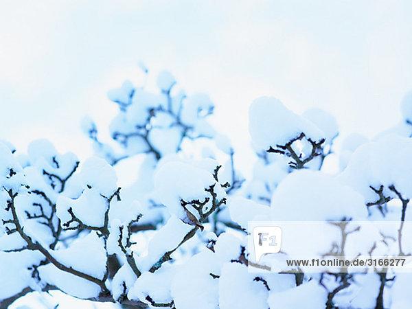 Snow on apple-trees  Sweden.