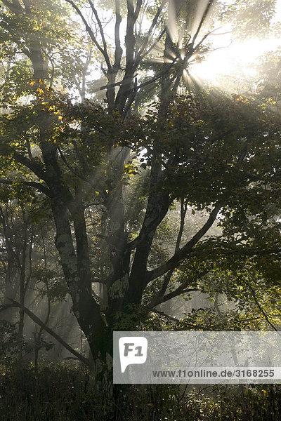 Lichtstrahl durch Blätterwerk Spruce Knob West Virginia USA.