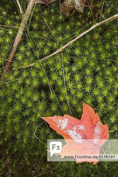 Ahornblatt in Herbstfarben  Nahaufnahme  North Carolina  USA.