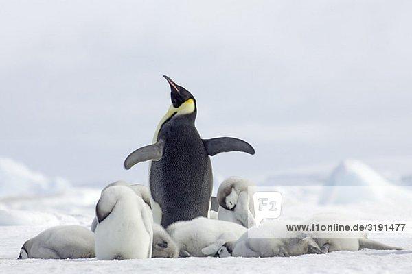 Kaiserpinguine  der Antarktis. Kaiserpinguine, der Antarktis.
