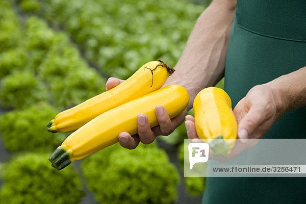 Mann erntet gelbe Zucchini Mann erntet gelbe Zucchini