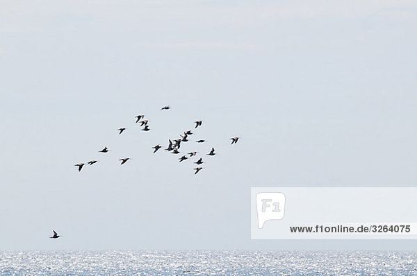 Birds flying over the sea  Sweden.