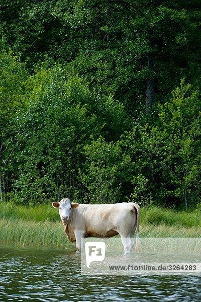 Bulle Stier Stiere Bullen stehend See