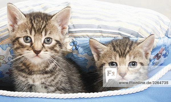 Hauskatze  Kätzchen im blauen Korb  Portrait