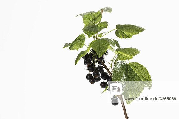 Schwarze Johannisbeeren (Ribes nigrum) am Ast