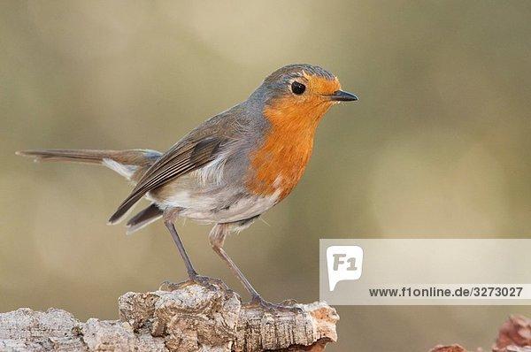 European robin (Erithacus rubecula)  Sierra de Andújar  Jaen Province  Andalusia  Spain