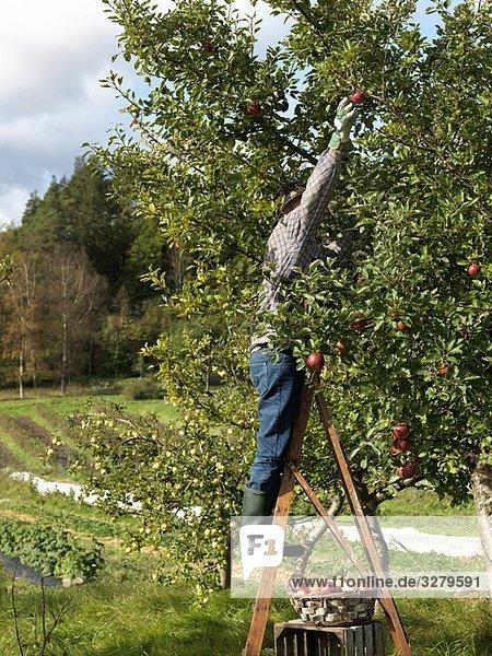 Mann pflückt Äpfel