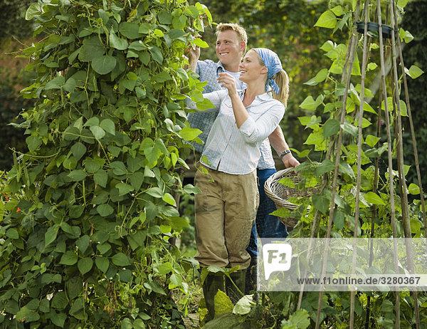 Junges Paar beim Schneiden einer Bohnenpflanze