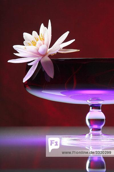 Seerose in einer Glasschale  Close-up  Flachwinkelansicht