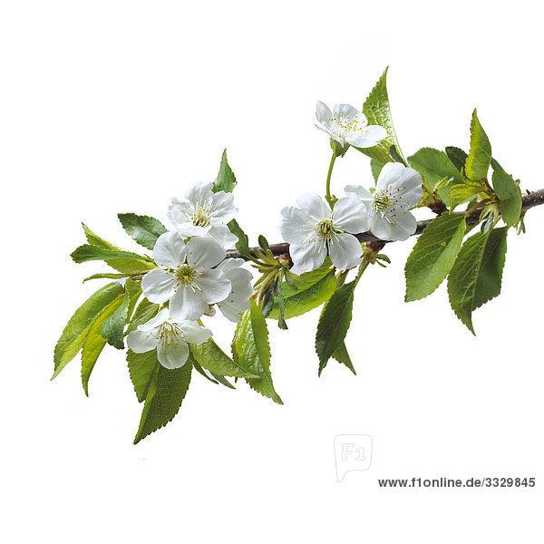 Cherry blüht auf weißem Hintergrund