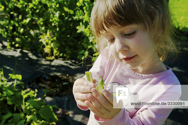 Girl in garden picking snow peas  Maricourt  Quebec