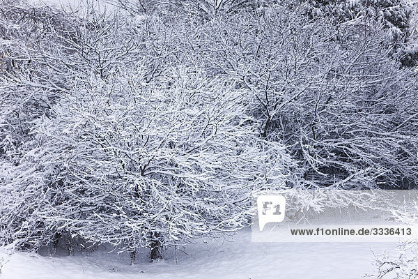 Apple trees covered in snow  Bradford  Ontario