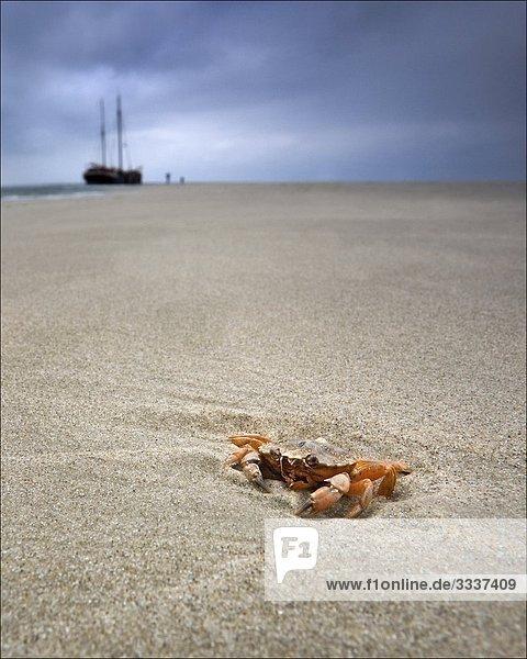 Krabbe am Strand der Nordsee mit einem Schiff im Hintergrund
