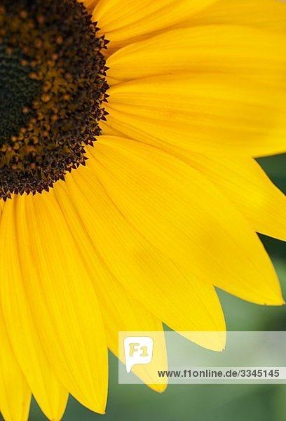 Eine Sonnenblume  Nahaufnahme  Schweden.