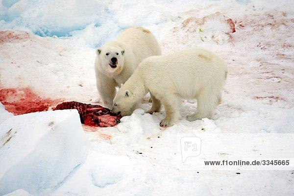 Zwei Eisbären Essen ein Siegel  Spitzbergen  Spitzbergen  Norwegen.