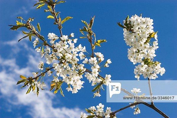 Blumige Zweig gegen einen blauen Himmel  Schweden.
