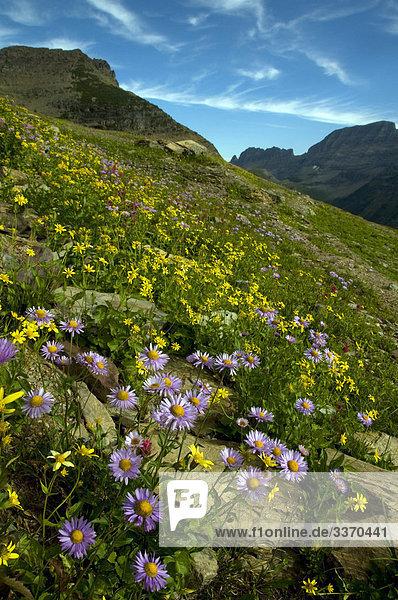 Mountain Wiesenblumen  Glacier National Park  USA  Montana  Blumen  Wiese  Natur
