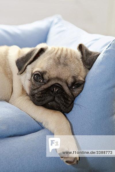 Pug puppy lying on sofa