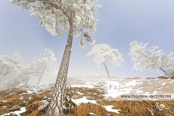 Schneebedeckte Waldkiefern (Pinus sylvestris) am Untersberg  Berchtesgaden  Deutschland  Flachwinkelansicht