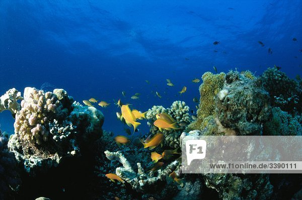 Coral reef with fish  Red Sea.