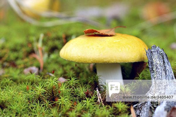 Nahaufnahme der Russula Claroflava Pilz auf russischen Kola Halbinsel