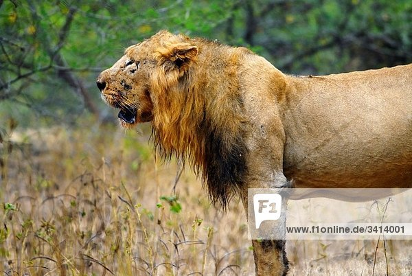 Asiatic lion Panthera Leo Persica just after feeding Gir National Park