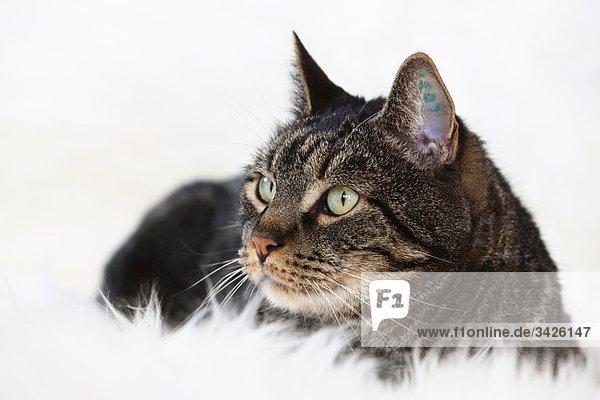 Katze liegend  wegschauend  Portrait
