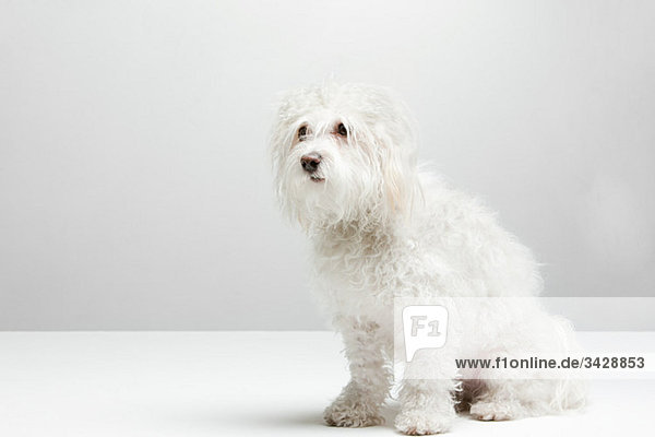 Porträt eines weißen Hundes