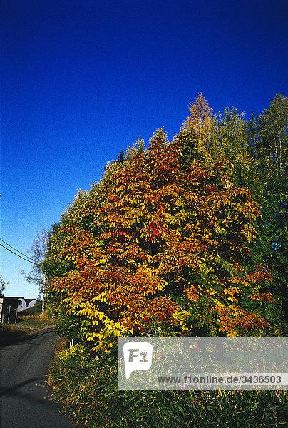 Baum im Herbst  Schweden