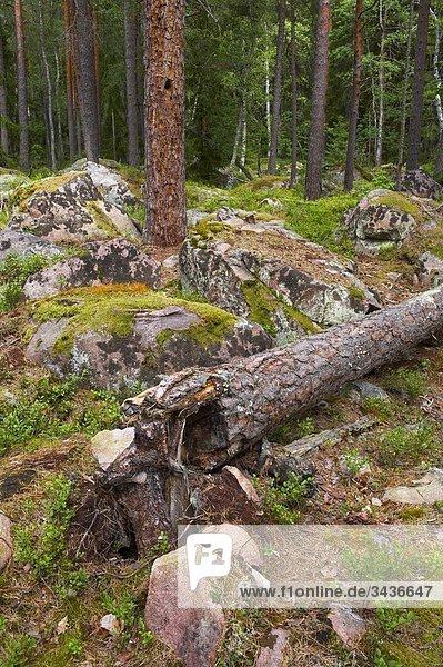 Kiefernholz. Smaland (Småland) Schweden