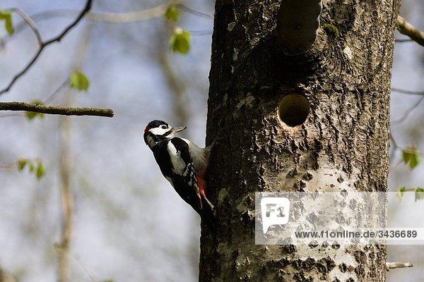 Buntspecht auf einem Baumstamm