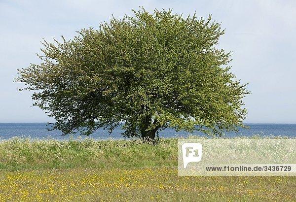 Großer Baum am Meer. Schweden