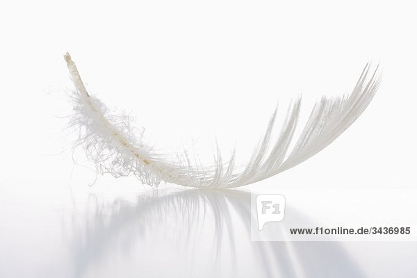 Single White Feather isolated on white Background with reflection