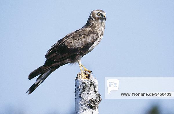 Ein Harrier oben auf einem Baumstamm