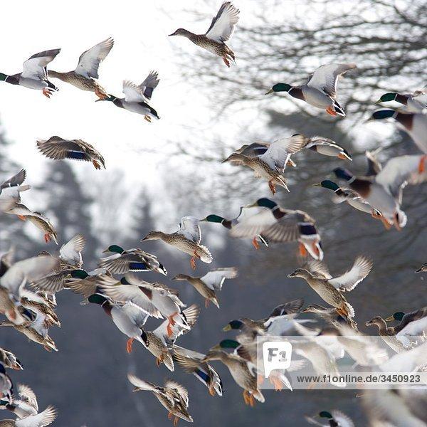 Wilden Enten fliegt Weg