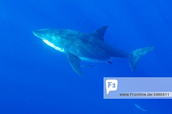 Isla Guadelupe Mexico Great White shark diving Carcharias carcharodon Female great white shark the male sexual organs or claspers are not present near the tail