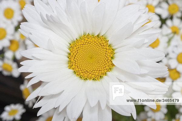 Detail eines Gänseblümchens