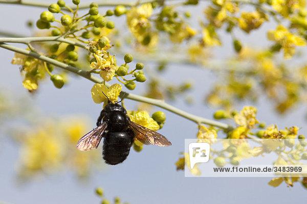 Insekt an einer Baumblüte  Desert Botanical Garden  Phoenix  Arizona  USA  Close-up