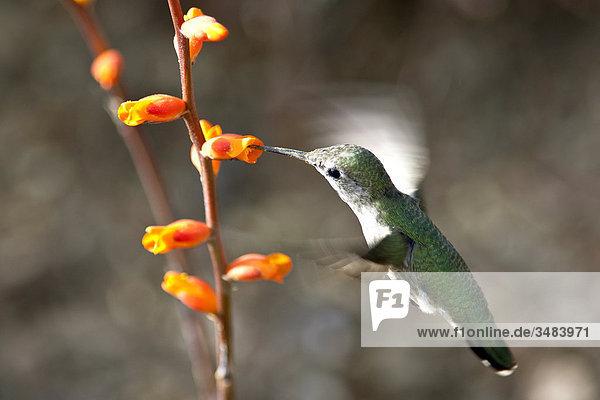 Kolibri frisst im Flug  Desert Botanical Garden  Phoenix  Arizona  USA  Close-up
