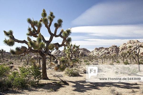 Joshua Tree Nationalpark  Kalifornien  USA