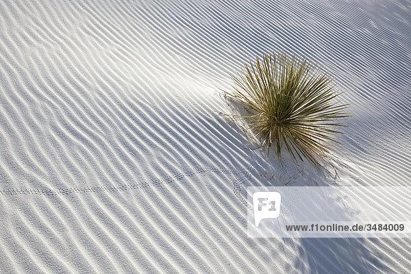 Gräser im weißen Sand wachsend  White Sands National Monument  New Mexico  USA  Erhöhte Ansicht