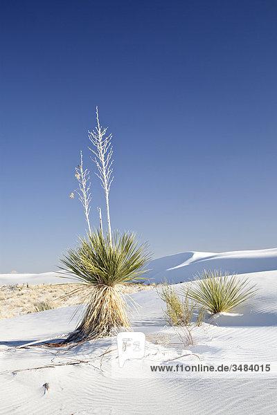 Pflanzen im White Sands National Monument  New Mexico  USA