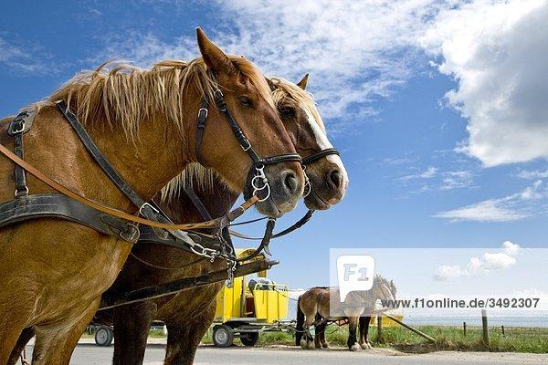 Pferdekutschen in Hallig Hooge  Nordfriesland  Deutschland  Flachwinkelansicht