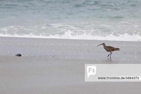 Vogel an einem Strand  Kalifornien  USA  Erhöhte Ansicht