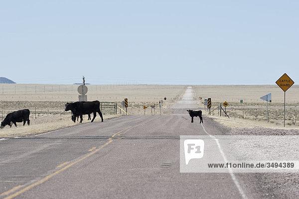 Rinder überqueren eine Straße  New Mexico  USA