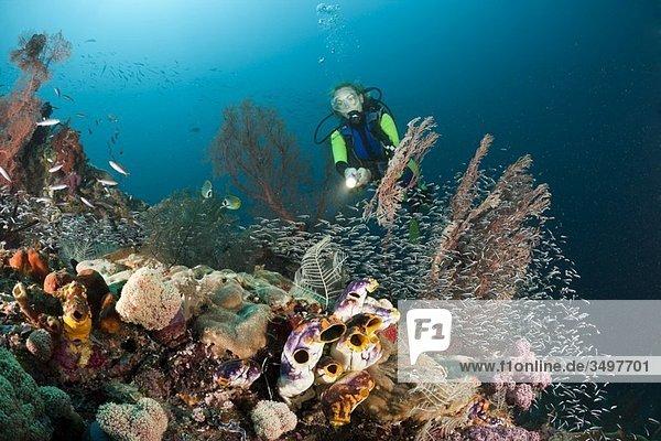 Scuba Diver over Coral Reef  Raja Ampat  West Papua  Indonesia