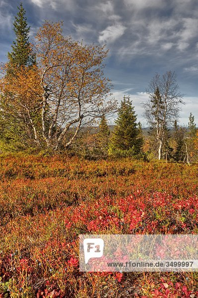 Lappland  Finnland  Pallas Yllastunturi National Park  im Herbst