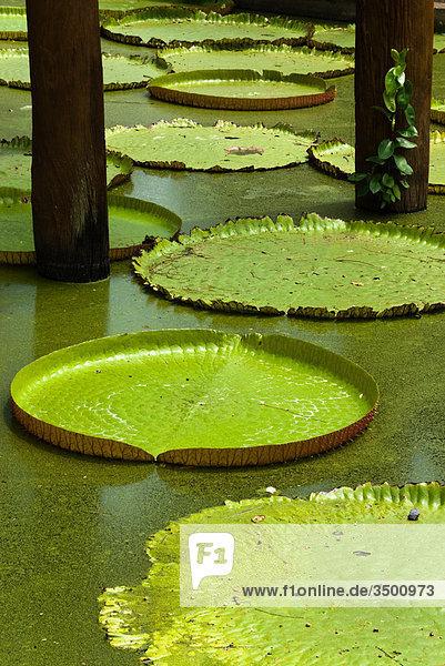 Lotuspflanzen auf dem Wasser  Freilichtmuseum Mueang Boran  Bangkok  Thailand