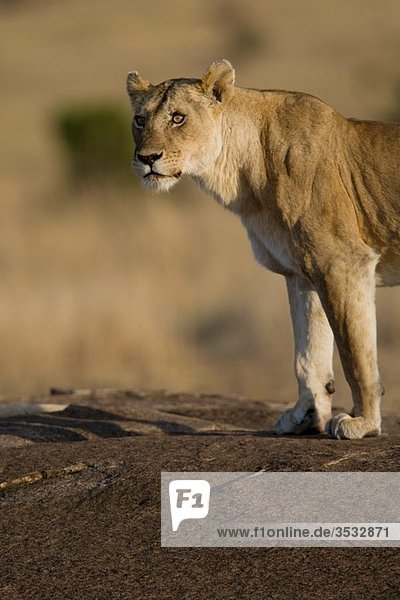 Lioness in the Masai Mara