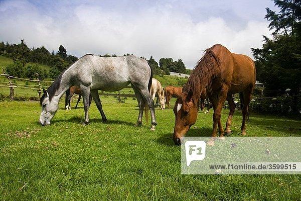 Arabian Horses on ranch